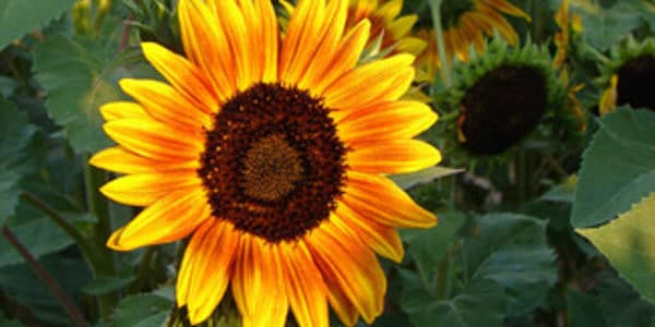 NEWS RELEASE: Van Gogh Sunflower Paintout and Auction