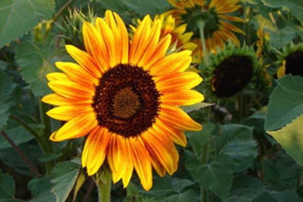 Sunflower Paintout, Lowe House Project