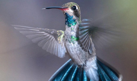 Lawrence Beck, hummingbird photography