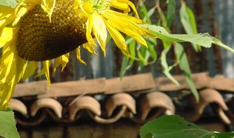 Van Gogh Sunflower Paint-Out