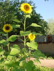 Sunflower Paint Out - Tubac