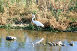 Crane standing on shoreline of Santa Cruz River