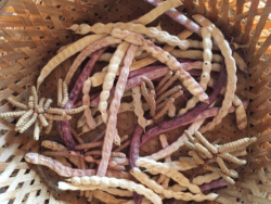 How to harvest mesquite beans